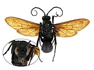 ベッコウバチ オオ オオベッコウバチ|世界の生き物図鑑ブログ
